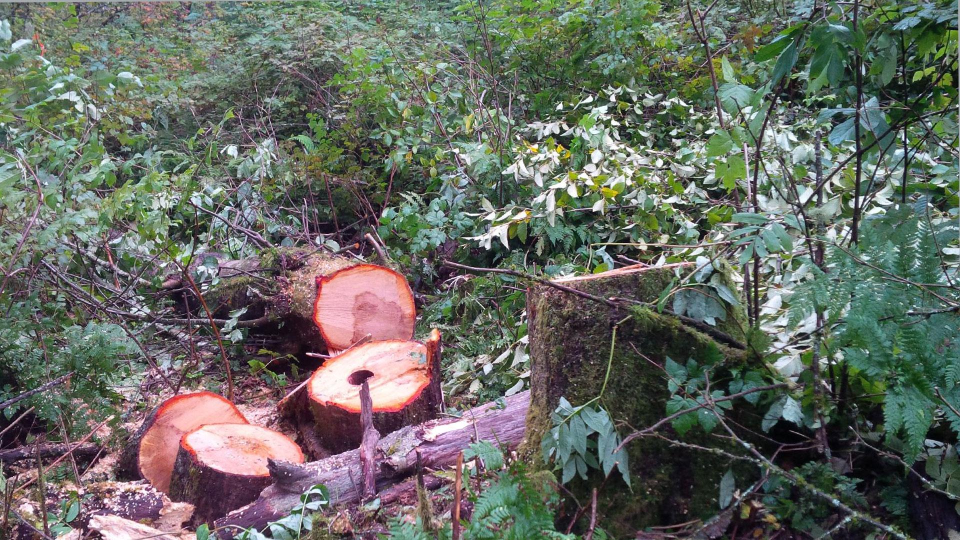 Burnaby Mountain Illegal Tree Cutting 1